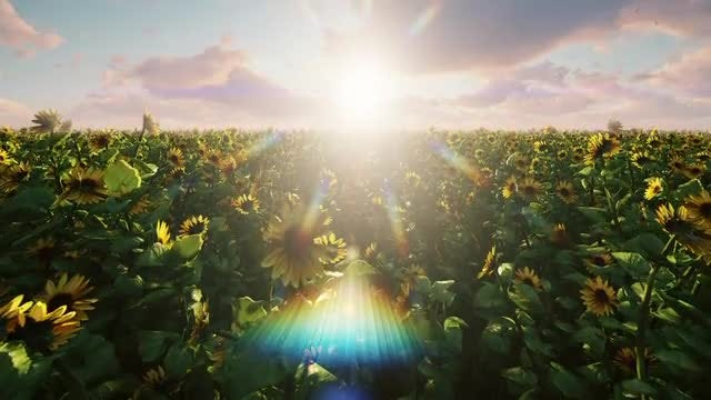 Sunflowers (Pack Of 2): Stock Motion Graphics