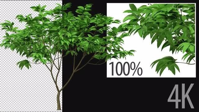 3D Plumeria Tree: Stock Motion Graphics
