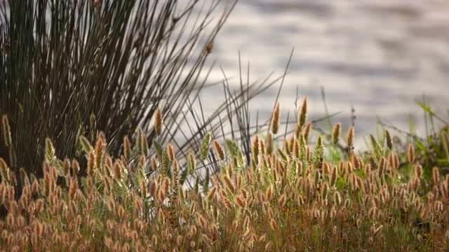 Reeds By The Lake: Stock Video