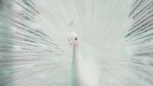 White Peacock: Stock Video