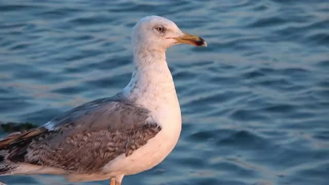 Standing Seagull: Stock Video