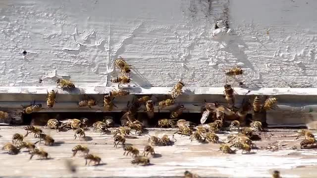 Workers Bees: Stock Video
