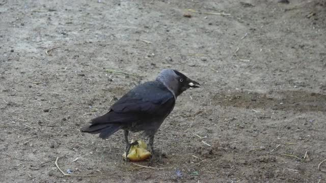 Crow Picking At An Apple: Stock Video