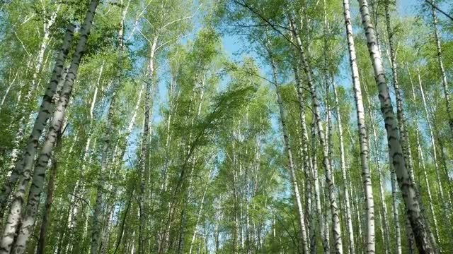 Birch Tree Forest: Stock Video