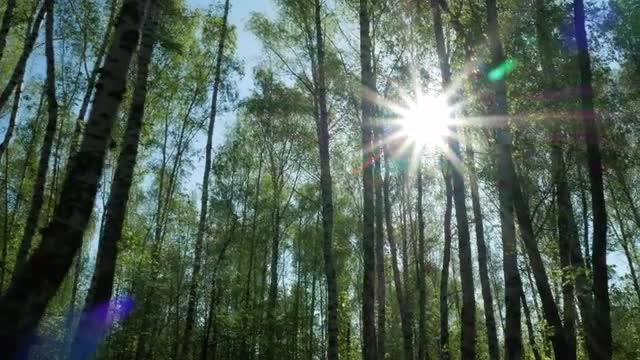 Sunny Birch Trees: Stock Video