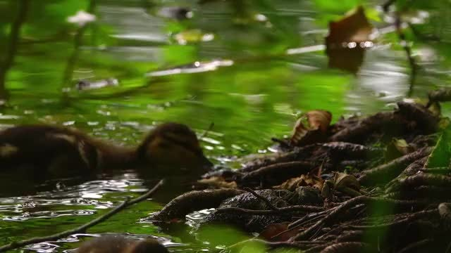 Baby Ducks In Lake: Stock Video