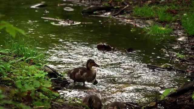 Baby Ducks In  A Creek: Stock Video