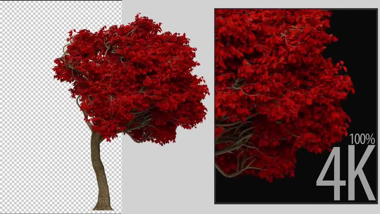 Acer Tree: Stock Motion Graphics