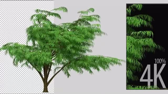 Albizia Tree: Stock Motion Graphics