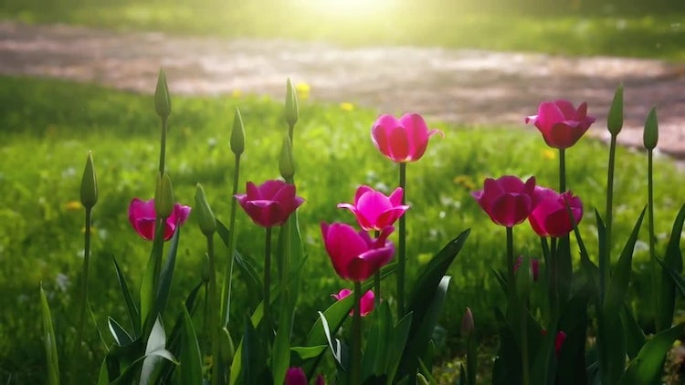 Tulips: Stock Video