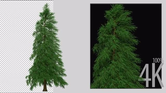 Fraser Fir Tree: Stock Motion Graphics
