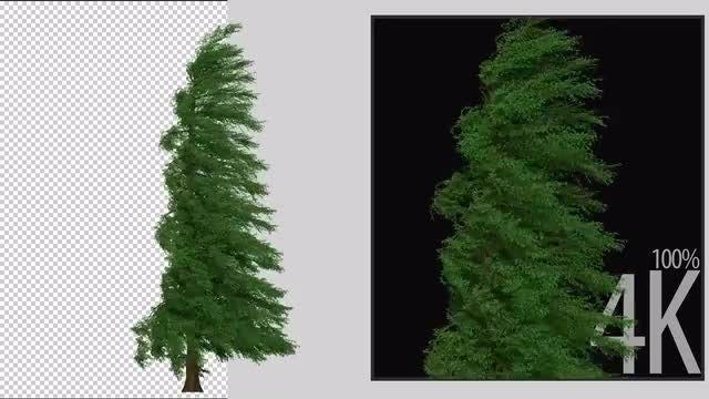Fraser Tree: Stock Motion Graphics