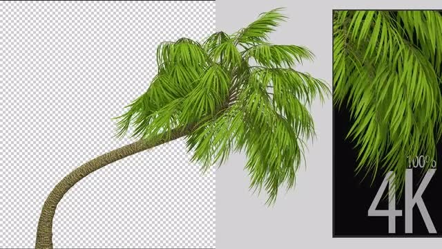 Palm Tree: Stock Motion Graphics