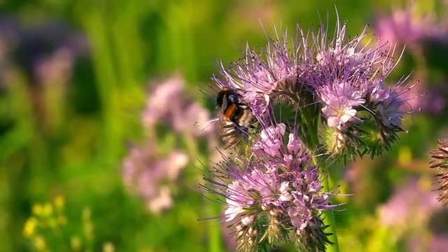 Bee On Purple Flower: Stock Video