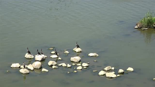 Cormorants On Rocks: Stock Video