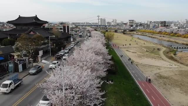 Cherry Blossom In South Korea: Stock Video