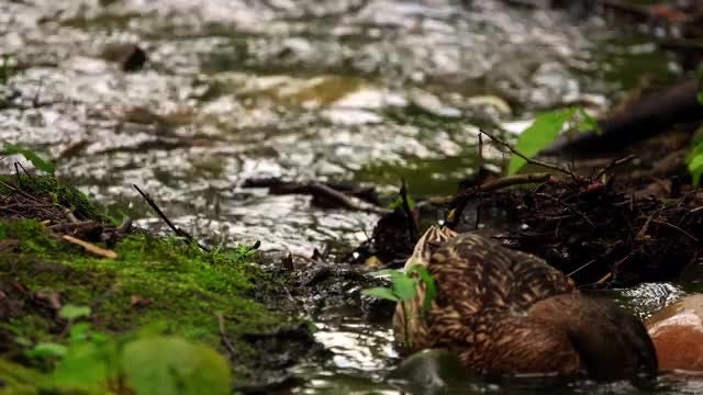 Duck Family On Creek: Stock Video