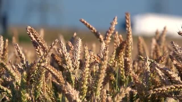 Swaying Wheat: Stock Video