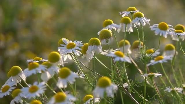 White Daisies: Stock Video