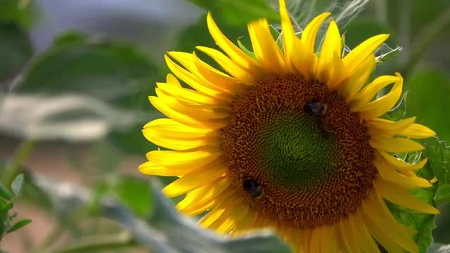 Sunflower With Bees: Stock Video