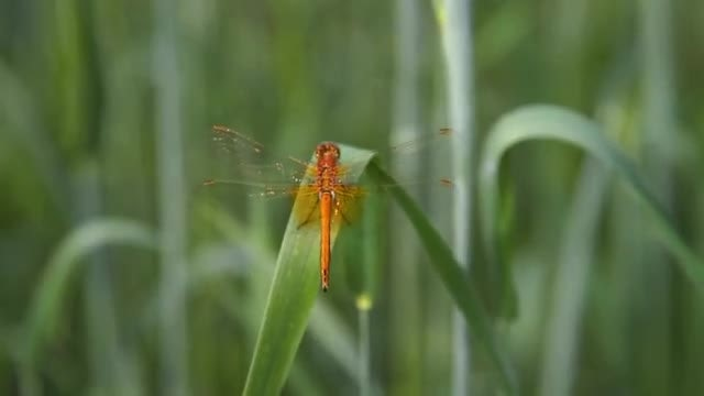 Dragonfly: Stock Video
