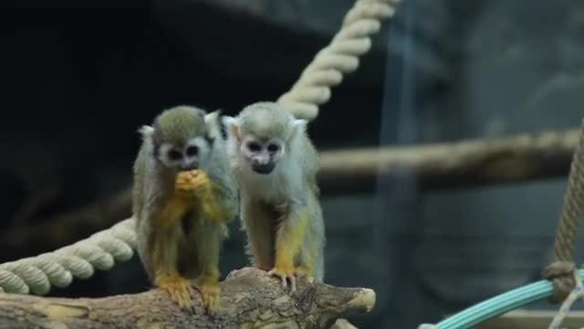 Squirrel Monkeys In The Zoo: Stock Video