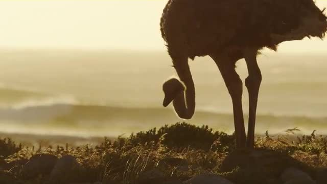 Ostrich Eating By The Sea: Stock Video