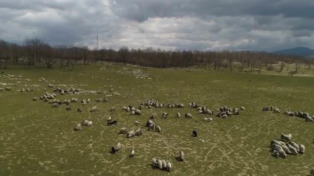 Sheep On Field: Stock Video