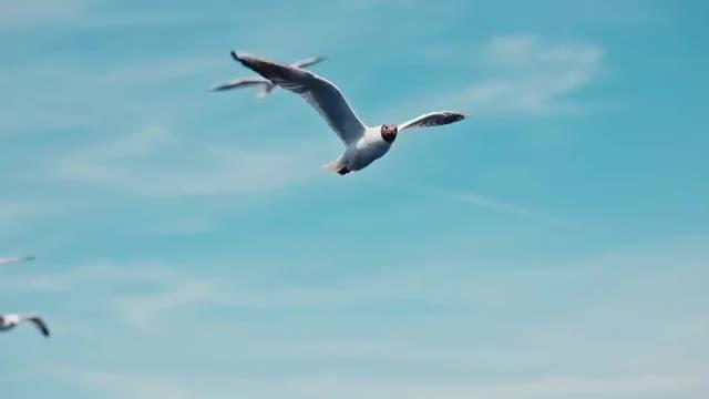Black-Headed Gull Flock: Stock Video