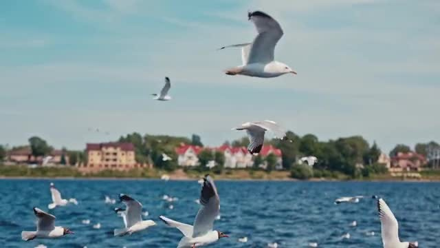 River Seagull Flock: Stock Video