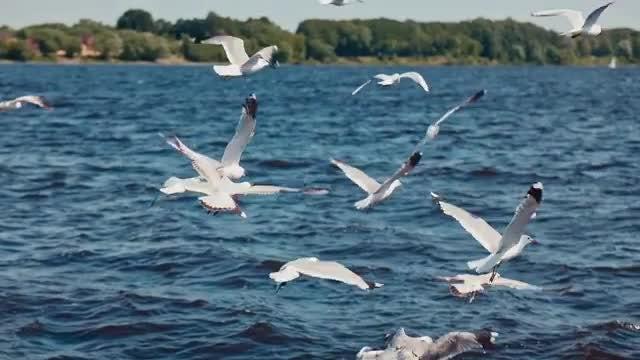 Flock Of Seagulls: Stock Video