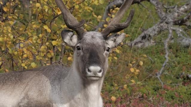 Reindeer: Stock Video