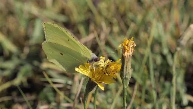 Brimstone Butterfly: Stock Video