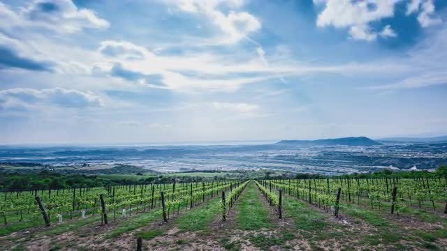 Vineyards: Stock Video