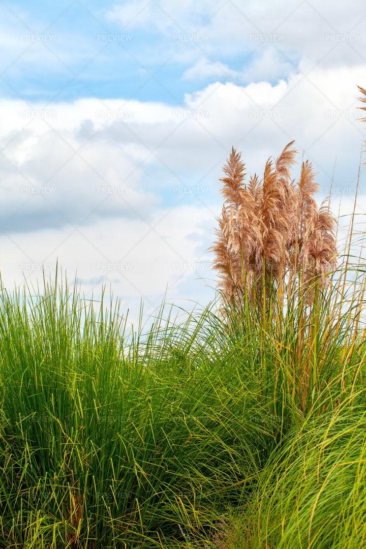 Tall Beach Grass: Stock Photos
