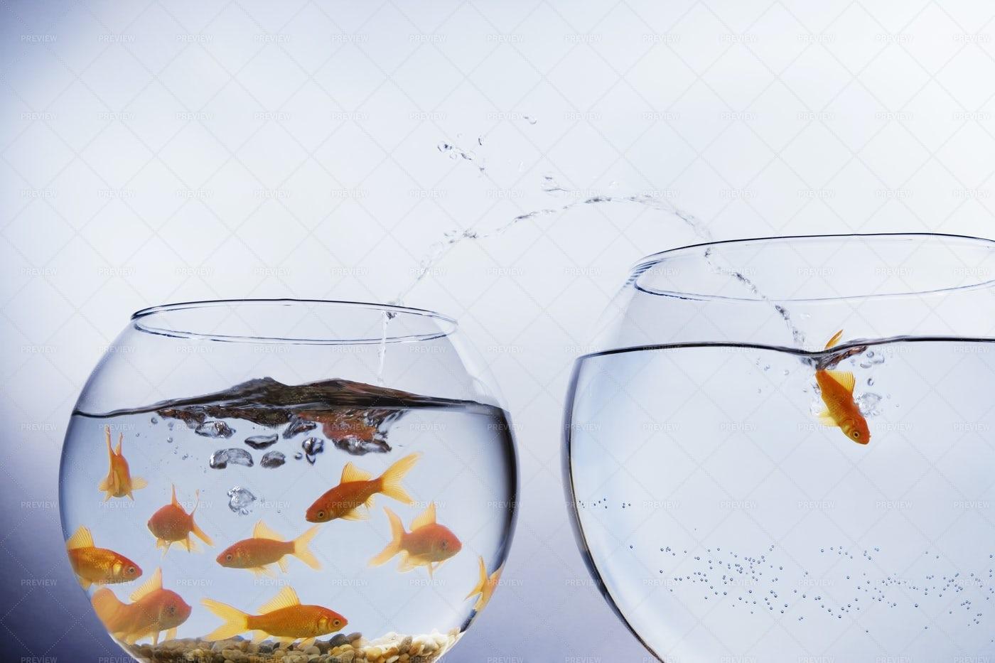 Goldfish Jumping: Stock Photos