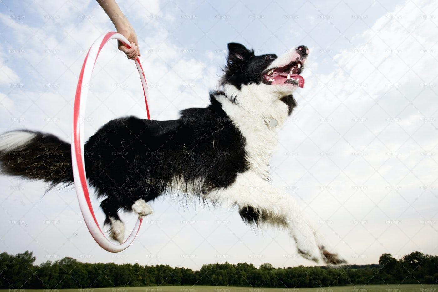 Sheepdog Jumping: Stock Photos