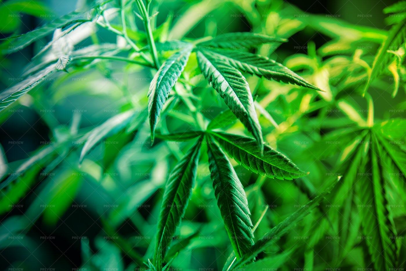Cannabis Plant: Stock Photos