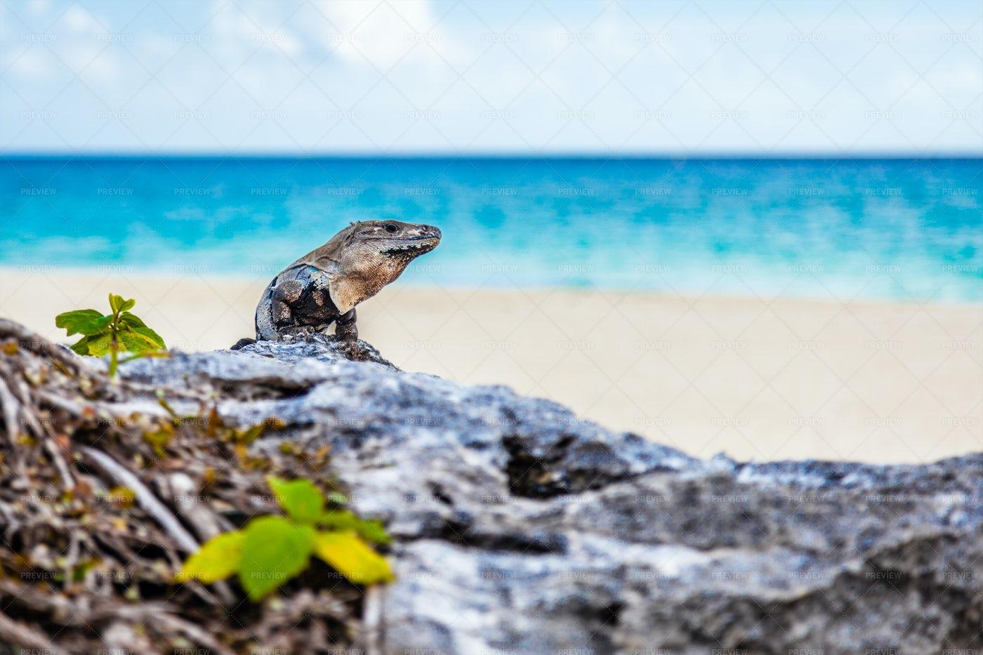 Iguana Basking On Beach: Stock Photos