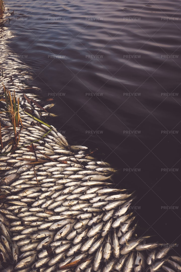 Dead Fish In A Polluted River: Stock Photos