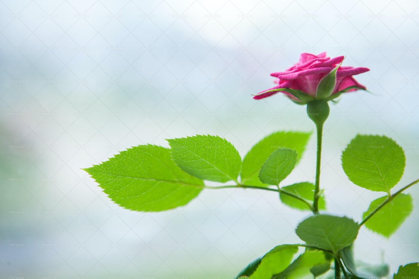 Red Rose Near A Window: Stock Photos