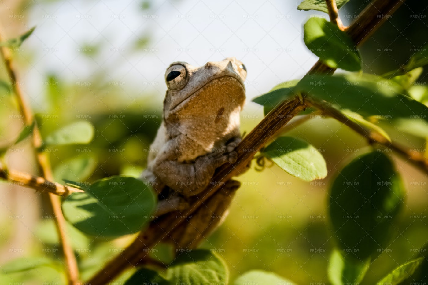 Frog In A Tree: Stock Photos