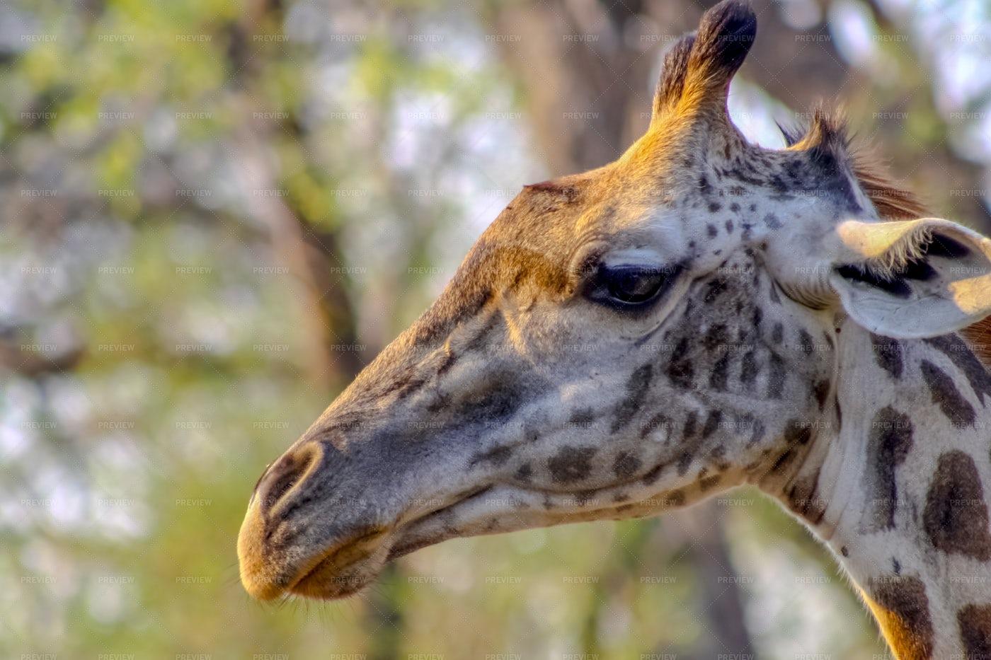 Giraffe: Stock Photos