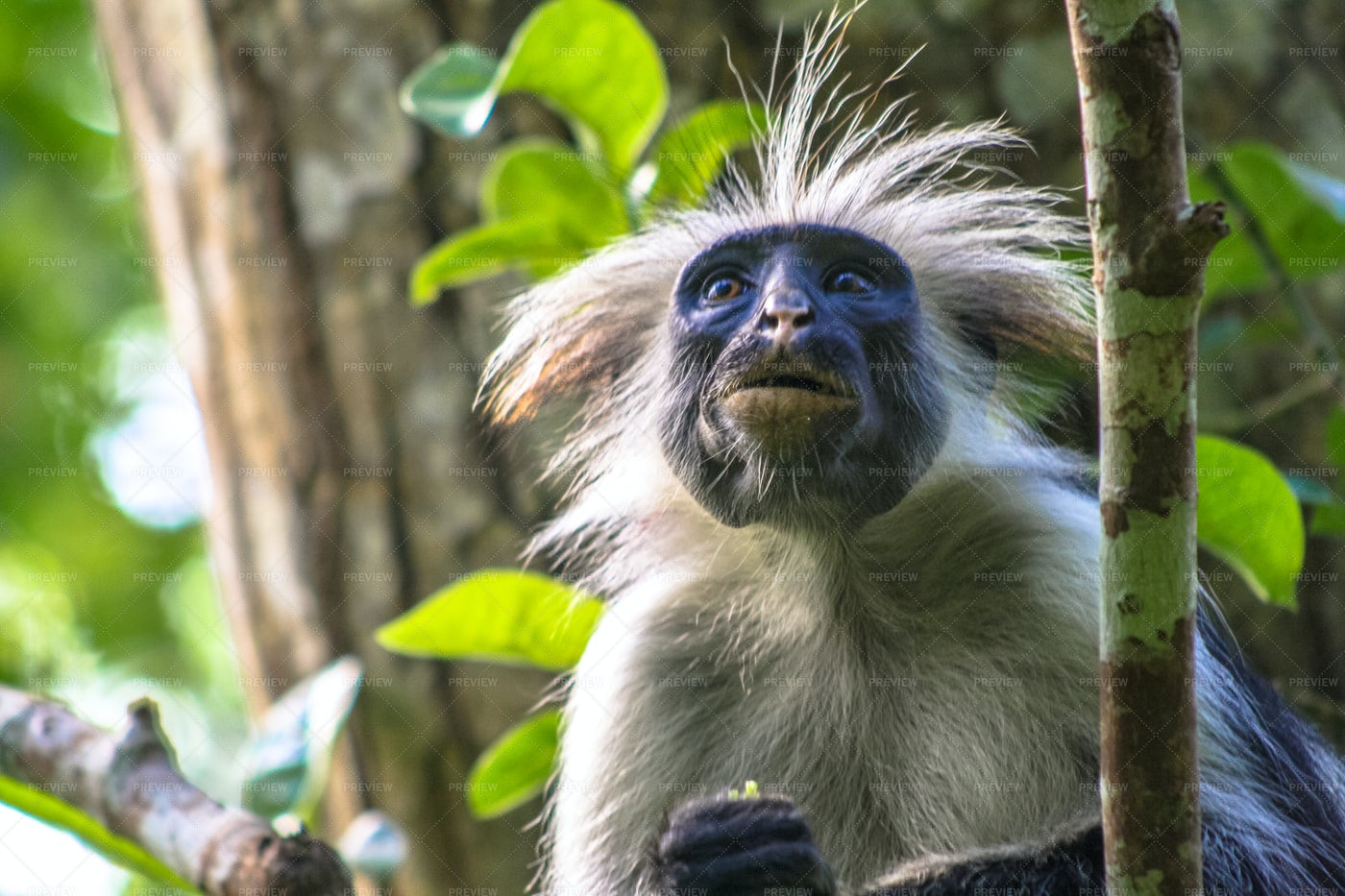 Red Colobus Monkey: Stock Photos