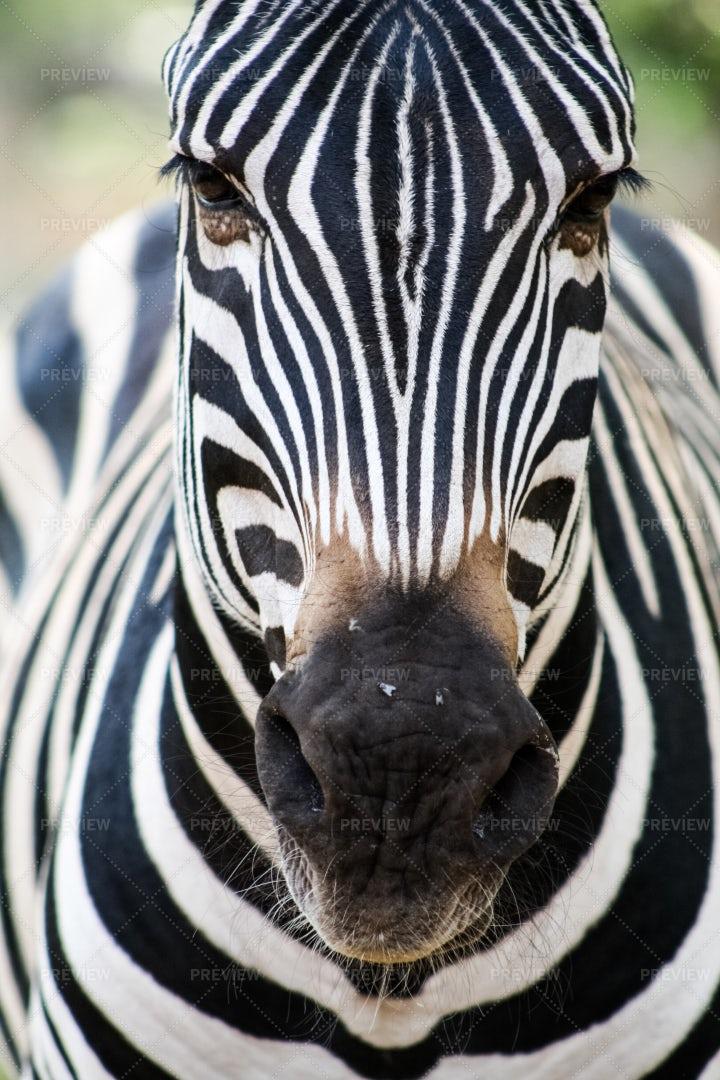 Zebra: Stock Photos