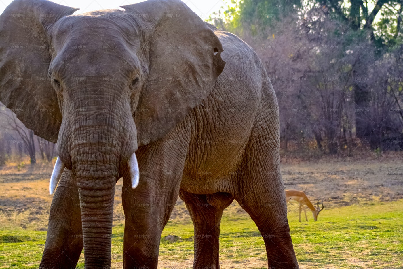 African Elephant In Forest: Stock Photos