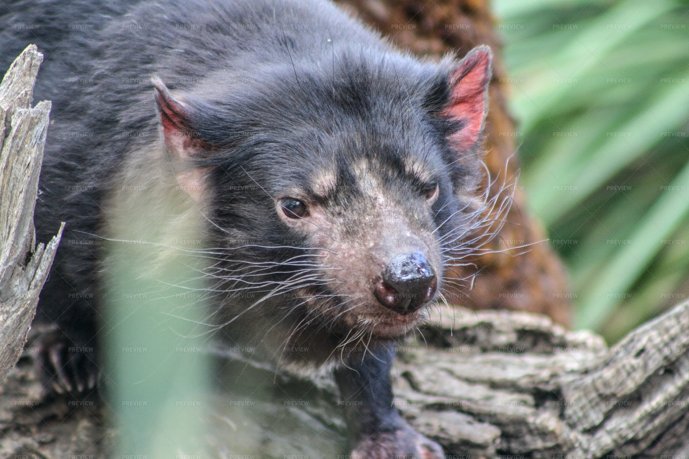 Tasmanian Devil: Stock Photos