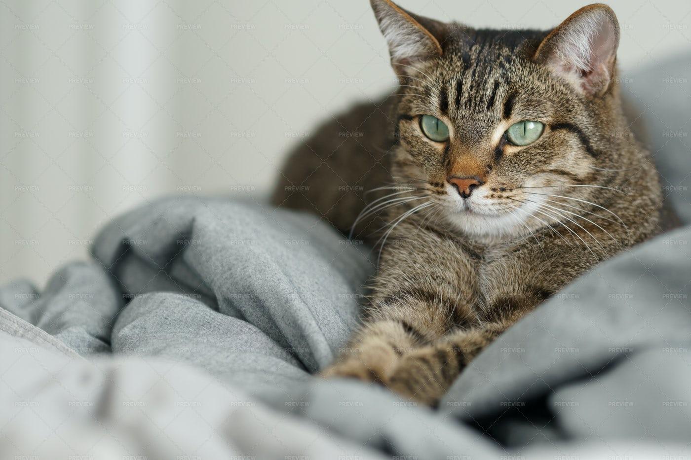 Housecat Among The Sheets: Stock Photos