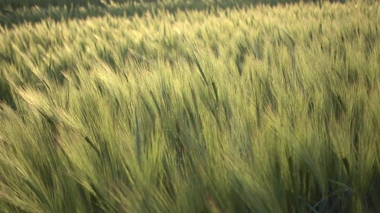 Wheat Field In The Sunset: Stock Video