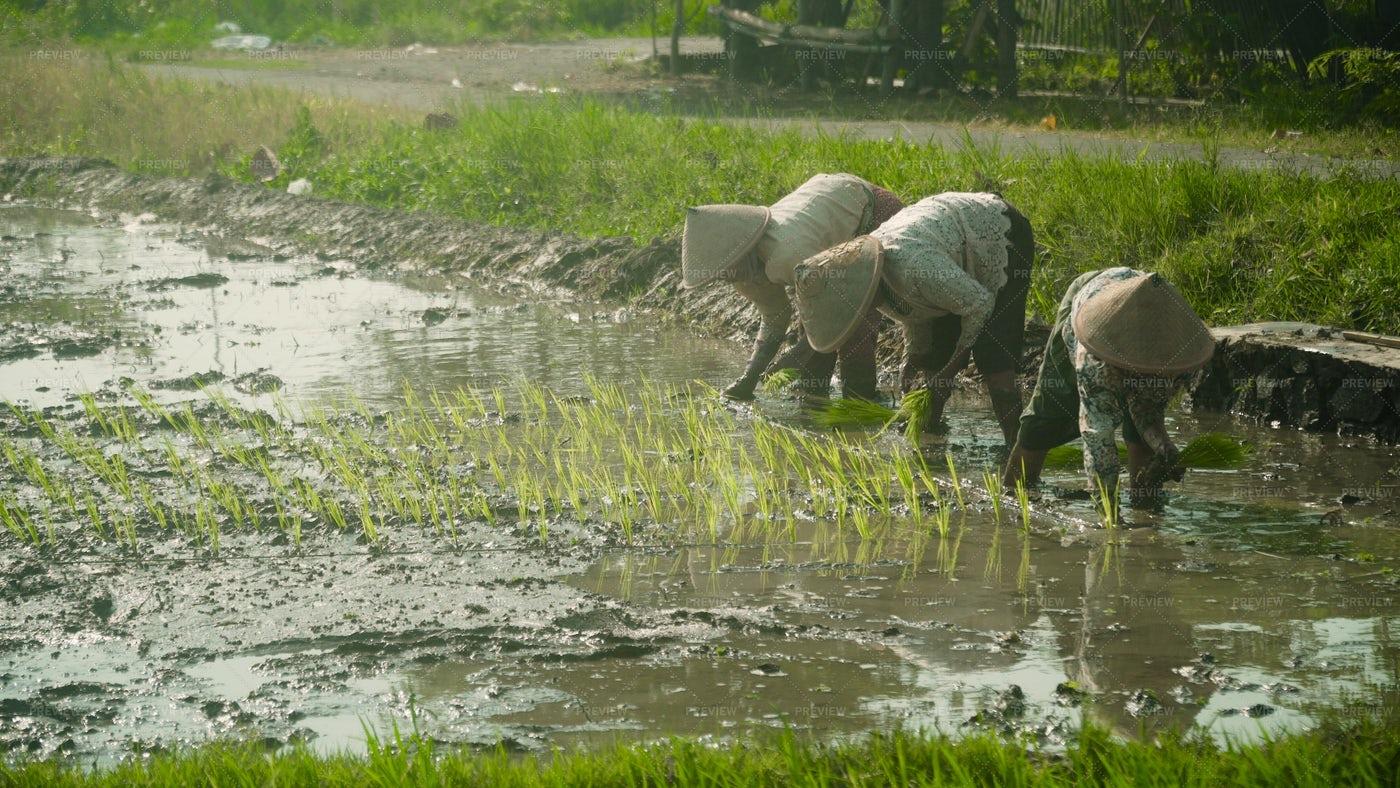 Farmers Planting Rice: Stock Photos
